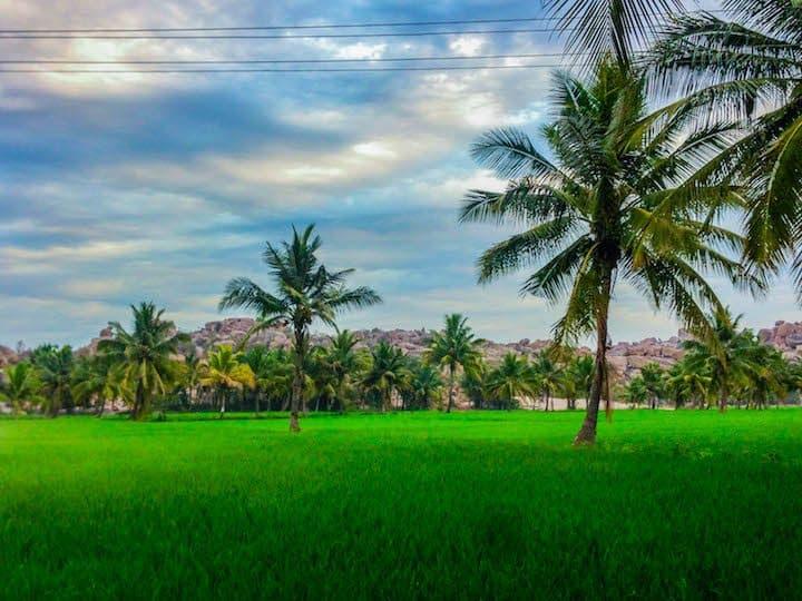 hampi-rice-paddy-palm-trees-mist
